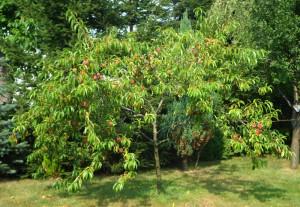 parszywa dwunastka brzoskwinia