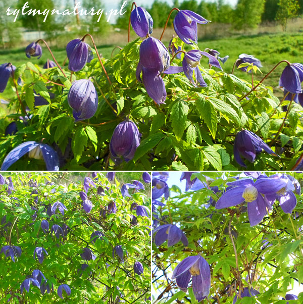 clematis purple spider