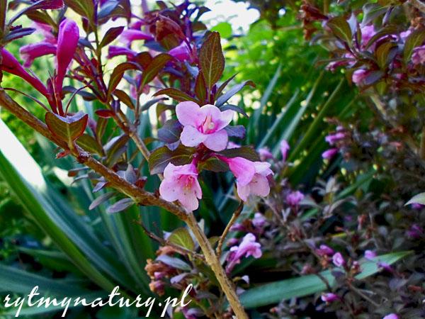 krzewuszka cudowna 'Foliis Purpureis'