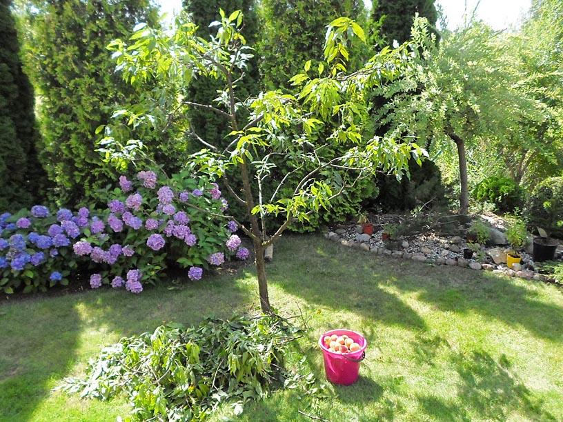 uprawa brzoskwin