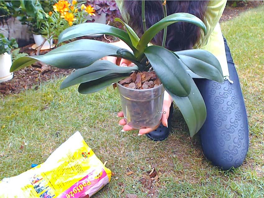 jak przesadzić phalaenopsisa