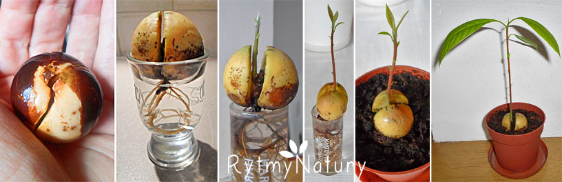 jak zasadzić awokado
