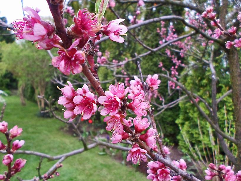 uprawa brzoskwiń
