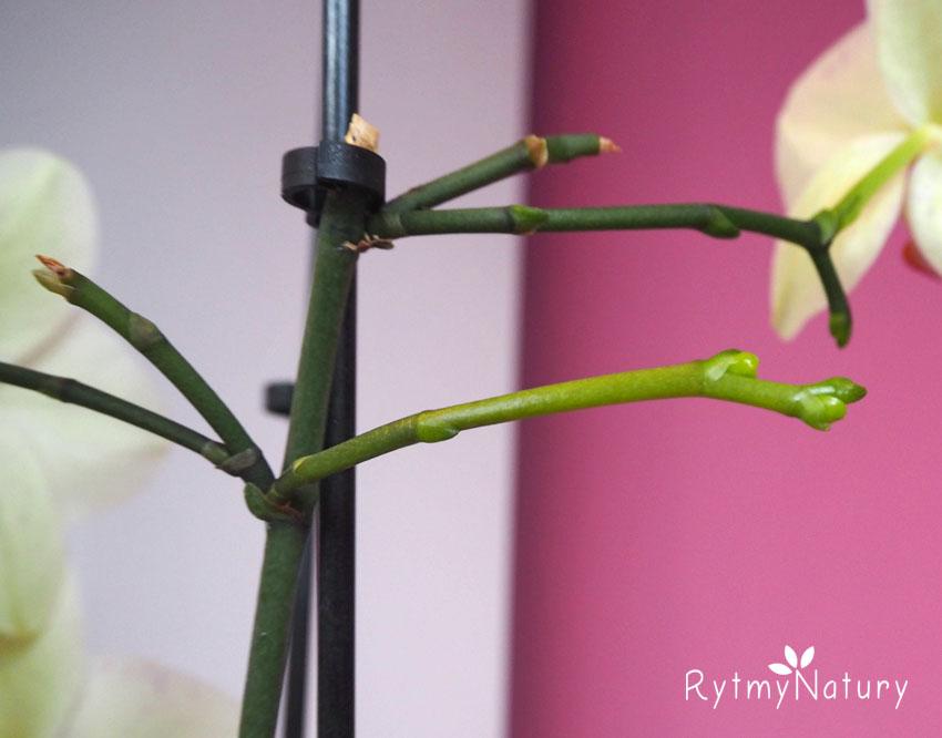 storczyk nie kwitnie