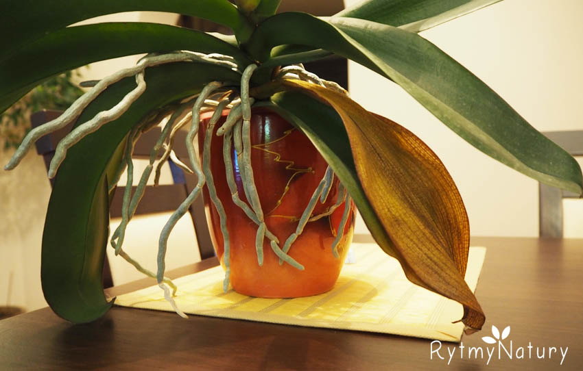 dlaczego żółkną liście storczyka