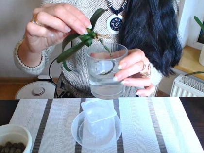 storczyk w szkle