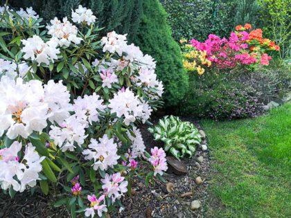 azalie w ogrodzie